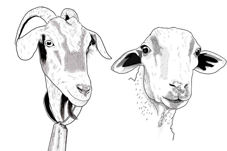 ilustración cabras payoya